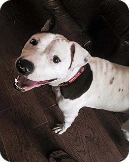 Pit Bull Terrier Mix Dog for adoption in Durham, North Carolina - Yale