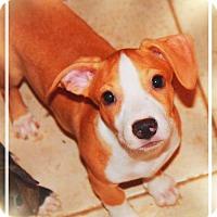 Adopt A Pet :: FRODO BAGGINS - Chandler, AZ
