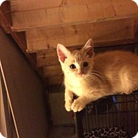 Domestic Shorthair Kitten for adoption in Rochester, Michigan - A Peachy