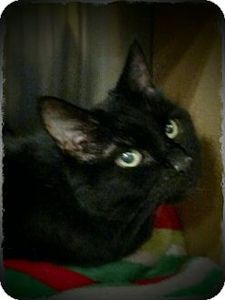 Domestic Shorthair Cat for adoption in Pueblo West, Colorado - Lucinda