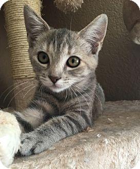 Domestic Shorthair Kitten for adoption in Temecula, California - Julia