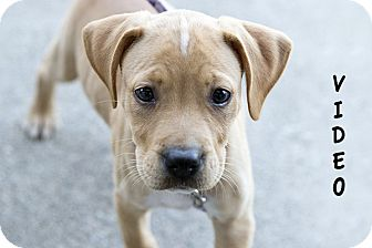 Pit Bull Terrier Mix Puppy for adoption in Durham, North Carolina - Savannah