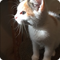 Calico Kitten for adoption in Ashland, Ohio - Kiara