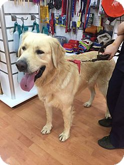 Golden Retriever Dog for adoption in Washington, D.C. - Zachary