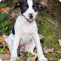 Adopt A Pet :: Spot - Terre Haute, IN