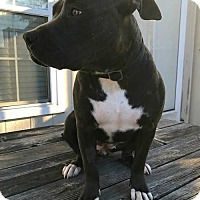 American Pit Bull Terrier Mix Dog for adoption in Kansas City, Missouri - Nala