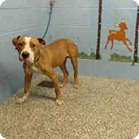 Pit Bull Terrier Dog for adoption in San Bernardino, California - URGENT ON 11/30 San Bernardino