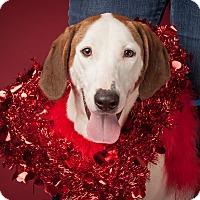 Adopt A Pet :: Ella - Dallas, TX