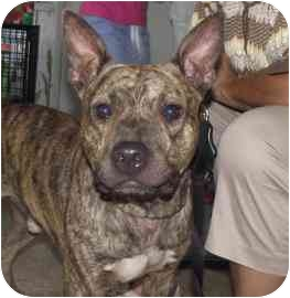 American Staffordshire Terrier Mix Dog for adoption in Milwaukee, Wisconsin - Buddy Epson