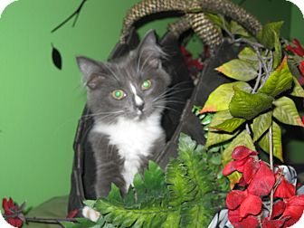 Domestic Mediumhair Kitten for adoption in Clearfield, Utah - Sassoon
