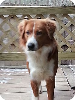 Australian Shepherd/Shepherd (Unknown Type) Mix Dog for adoption in Windham, New Hampshire - Rango