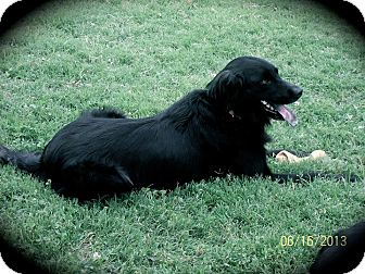 Labrador Retriever/Flat-Coated Retriever Mix Dog for adoption in Plainfield, Connecticut - Dixie