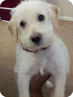 Jack Russell Terrier/Chihuahua Mix Puppy for adoption in Phoenix, Arizona - Scruffy