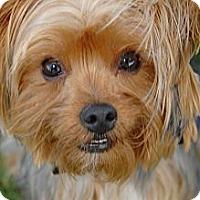 Adopt A Pet :: Corky - Orange, CA