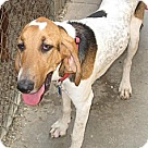 Adopt A Pet :: Ralphie(BRN)