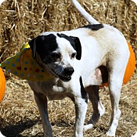 Rat Terrier Mix Dog for adoption in Simsbury, Connecticut - Sadie