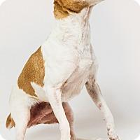 Adopt A Pet :: Harper - Yelm, WA
