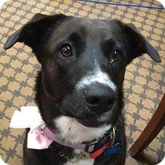 Labrador Retriever Mix Dog for adoption in Whitewright, Texas - Lucy