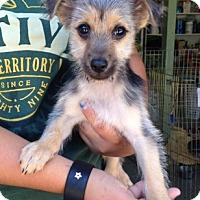 Adopt A Pet :: Rascal - Temecula, CA