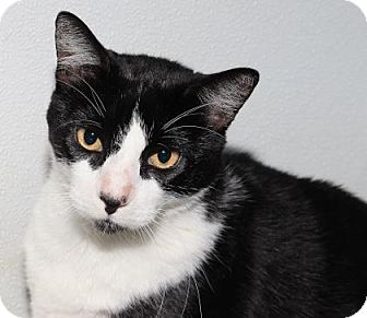 Domestic Shorthair Cat for adoption in Venice, Florida - Skipper 2