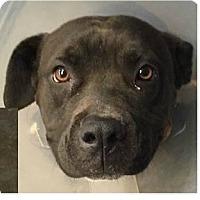 Adopt A Pet :: Luna - Springdale, AR