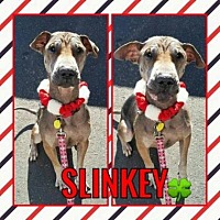 Shar Pei Mix Dog for adoption in Scottsdale, Arizona - Slinkey