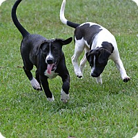 Adopt A Pet :: Harley - Shaw AFB, SC