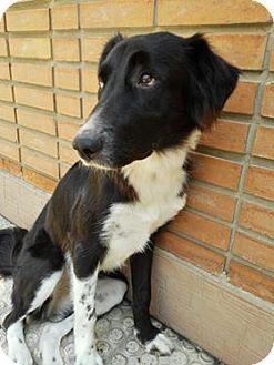 Border Collie Dog for adoption in Seattle, Washington - Thelma - Precious Persian Beauty
