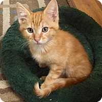Domestic Shorthair Kitten for adoption in Fort Collins, Colorado - Timon (DENVER)