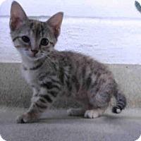 Domestic Mediumhair Kitten for adoption in Oklahoma City, Oklahoma - DESIREE