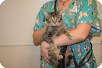 Domestic Shorthair Cat for adoption in Wildomar, California - Miranda