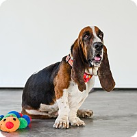 Adopt A Pet :: Boomer - Victoria, BC