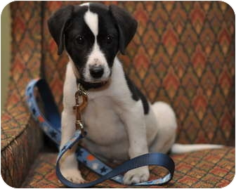 Caden Adopted Puppy Sparta Nj Feist Border Collie Mix