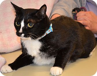 Domestic Shorthair Cat for adoption in Simi Valley, California - Minnie