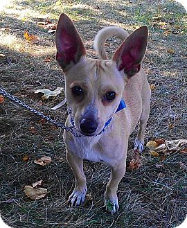 Chihuahua Mix Dog for adoption in Waldorf, Maryland - Slick