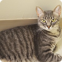Domestic Shorthair Cat for adoption in Lincoln, Nebraska - Dumpling