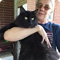 Adopt A Pet :: Alice front declaw - McDonough, GA