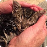 Adopt A Pet :: Lark - St. Louis, MO