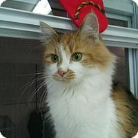 Domestic Longhair Cat for adoption in Owenboro, Kentucky - ARIANA!