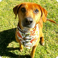 Adopt A Pet :: Big Red - El Cajon, CA