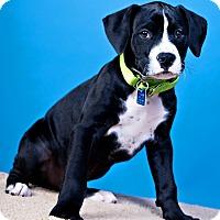 Adopt A Pet :: Biggie - Houston, TX