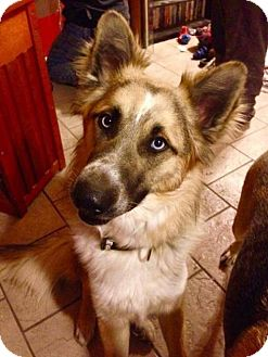 Shepherd (Unknown Type) Mix Dog for adoption in Shelburne, Vermont - Rocky