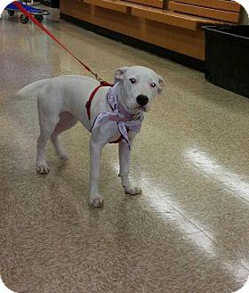 Pit Bull Terrier Mix Dog for adoption in Phoenix, Arizona - JoJo