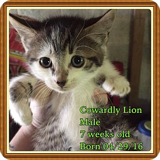 Domestic Shorthair Kitten for adoption in Bayville, New Jersey - Cowardly Lion