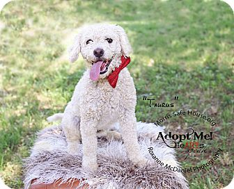 Maltese/Poodle (Miniature) Mix Dog for adoption in Lubbock, Texas - Tarus