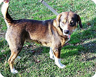 Beagle/Australian Cattle Dog Mix Dog for adoption in Charlottesville, Virginia - James