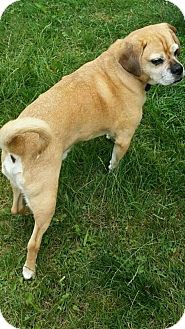 Pug/Beagle Mix Puppy for adoption in Alden, New York - Bailey