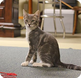 Domestic Shorthair Kitten for adoption in Carlisle, Pennsylvania - Pinky