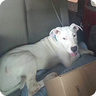 American Bulldog Mix Dog for adoption in Savannah, Georgia - Hero