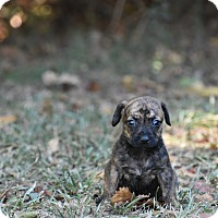 Dachshund Mix Puppy for adoption in Groton, Massachusetts - Darby